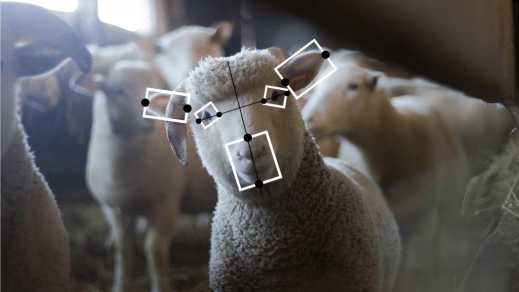 Koyunların Yüz İfadelerini Anlamak