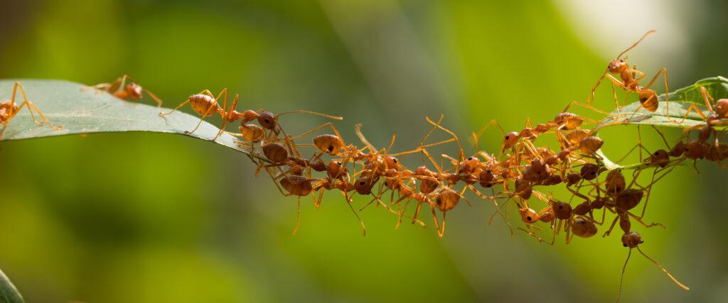 Birlikte hareket eden karınca davranışları.